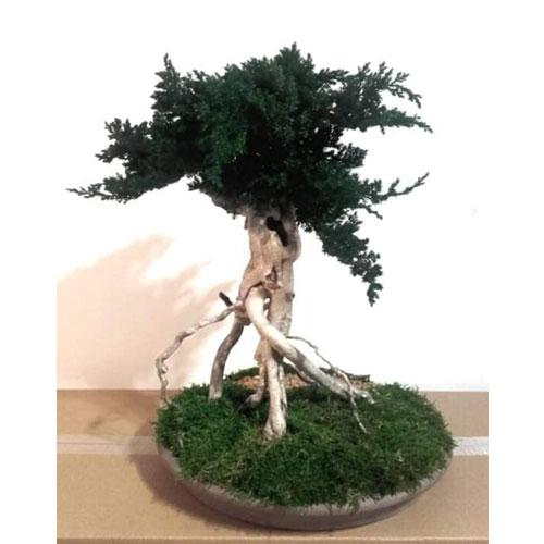 Bonsai reconstitue Bois de buis dvs green gallery